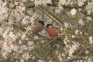 Bullfinches - Tony Fendall