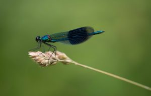 Beautiful male banded Demoiselle on seedhead