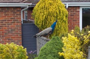 Peacock on fence