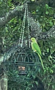 Parakeets - Rick Bourne