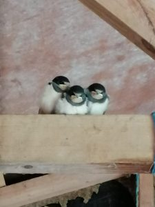 Three young swallows waiting for mum