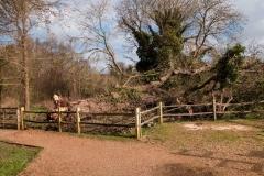 Fallen Oak Tree near Great Barn - Les Orvis