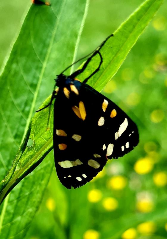 Aug-2021-Scarlet-Tiger-Moth-Ann-Francis