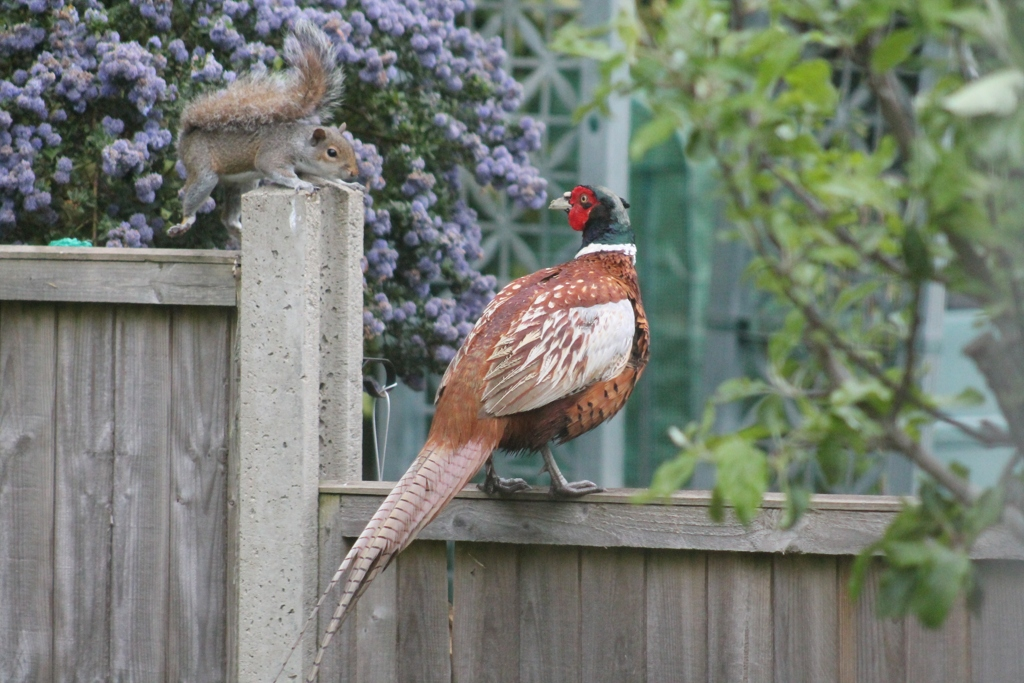 Squirrel meets Pheasant - Terry MacInish
