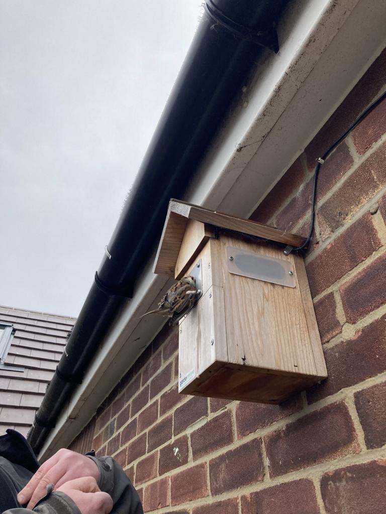 Sparrow stuck in Blue Tit box - Rick Bourne